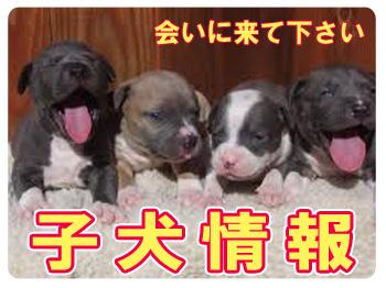 pitbullpappys ピットブル子犬情報