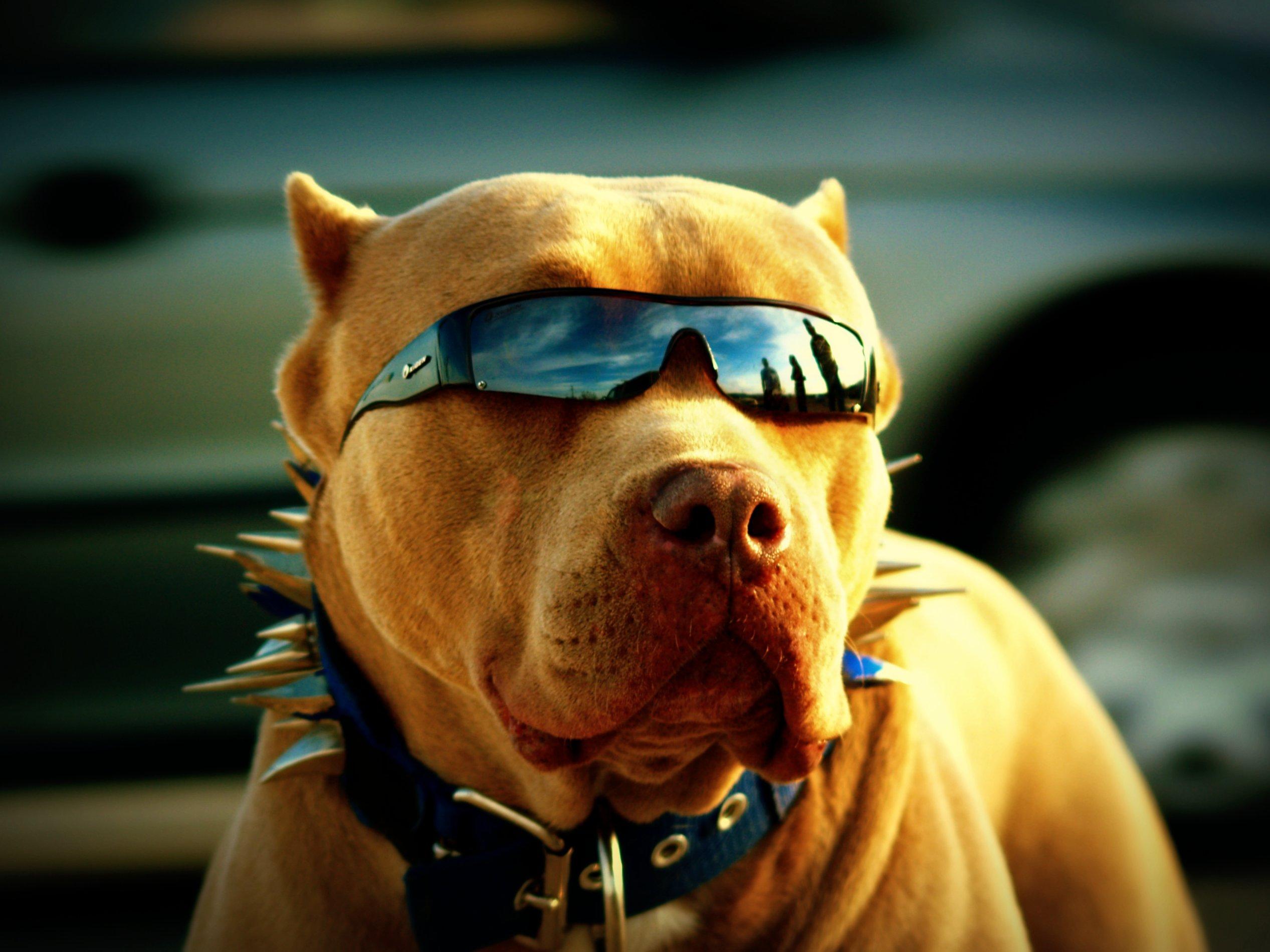 サングラス セレブが愛する ピットブル のブリーダーの子犬販売なら専門犬舎 ノースブリーケンネルズ