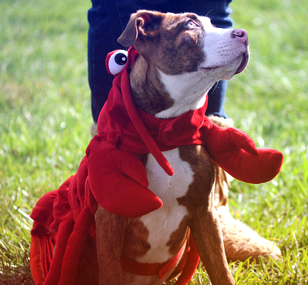 pit-bull-lobster-costume