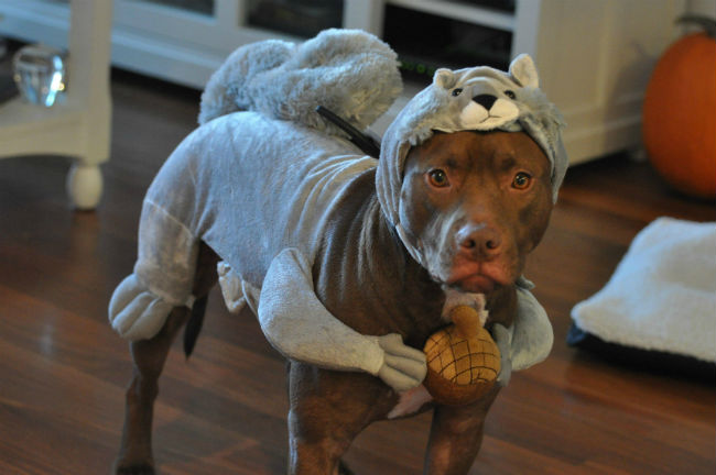 pit-bull-squirrel-costume