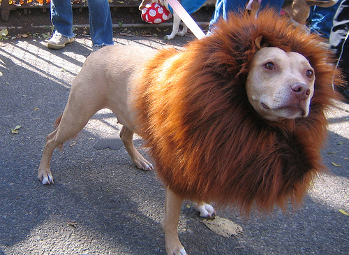 pit_bull_in_lion_costume