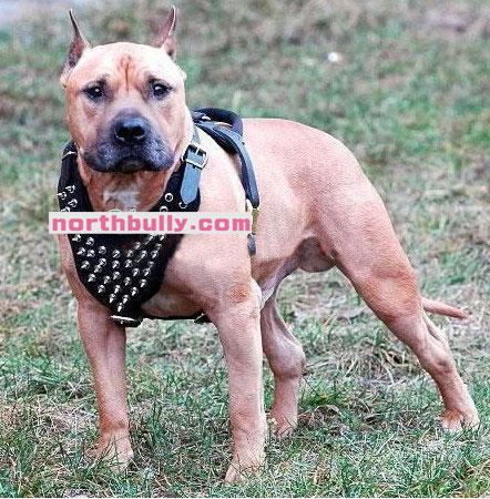 ピットブル・アメリカンブリー犬 胴輪・ハーネス