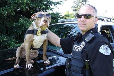pitbull ピットブル警察犬