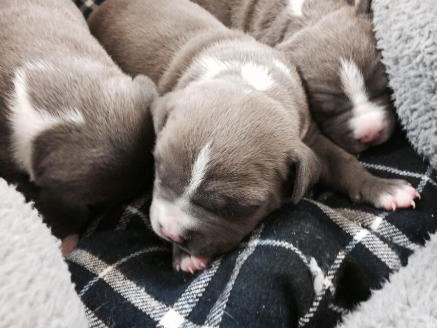 ピットブル子犬|ノースブリーケンネルズ犬舎