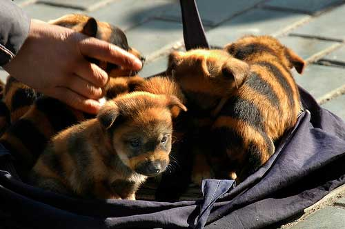 tiger-striped-puppies