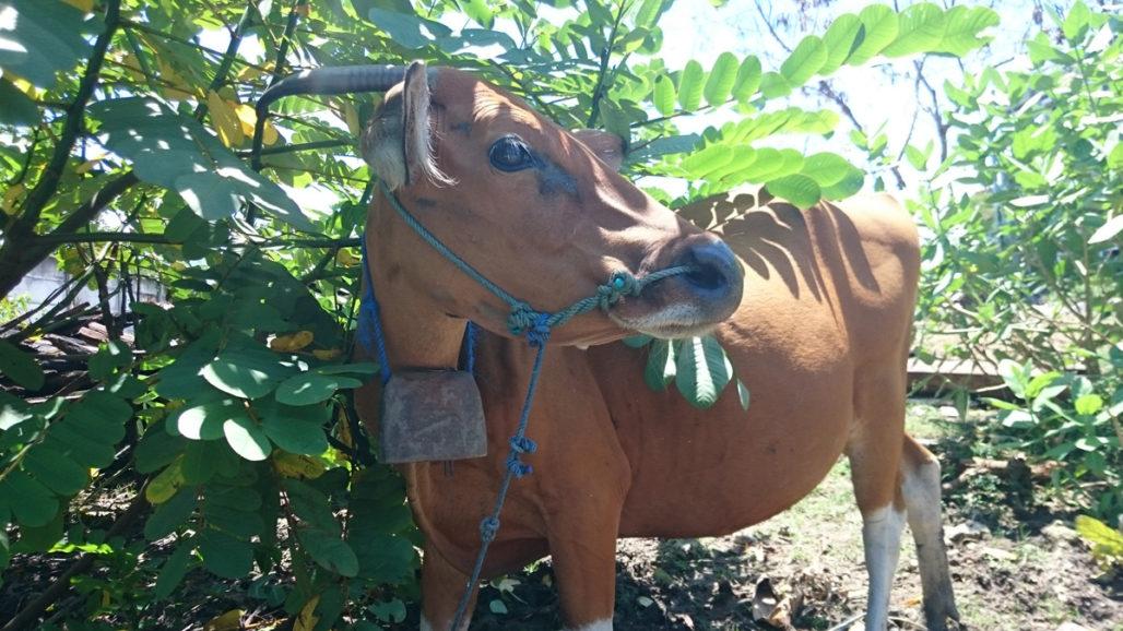 バリ島 牛 水牛
